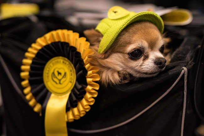 Crufts Dog Show 2018: как прошла крупнейшая в Европе выставка собак
